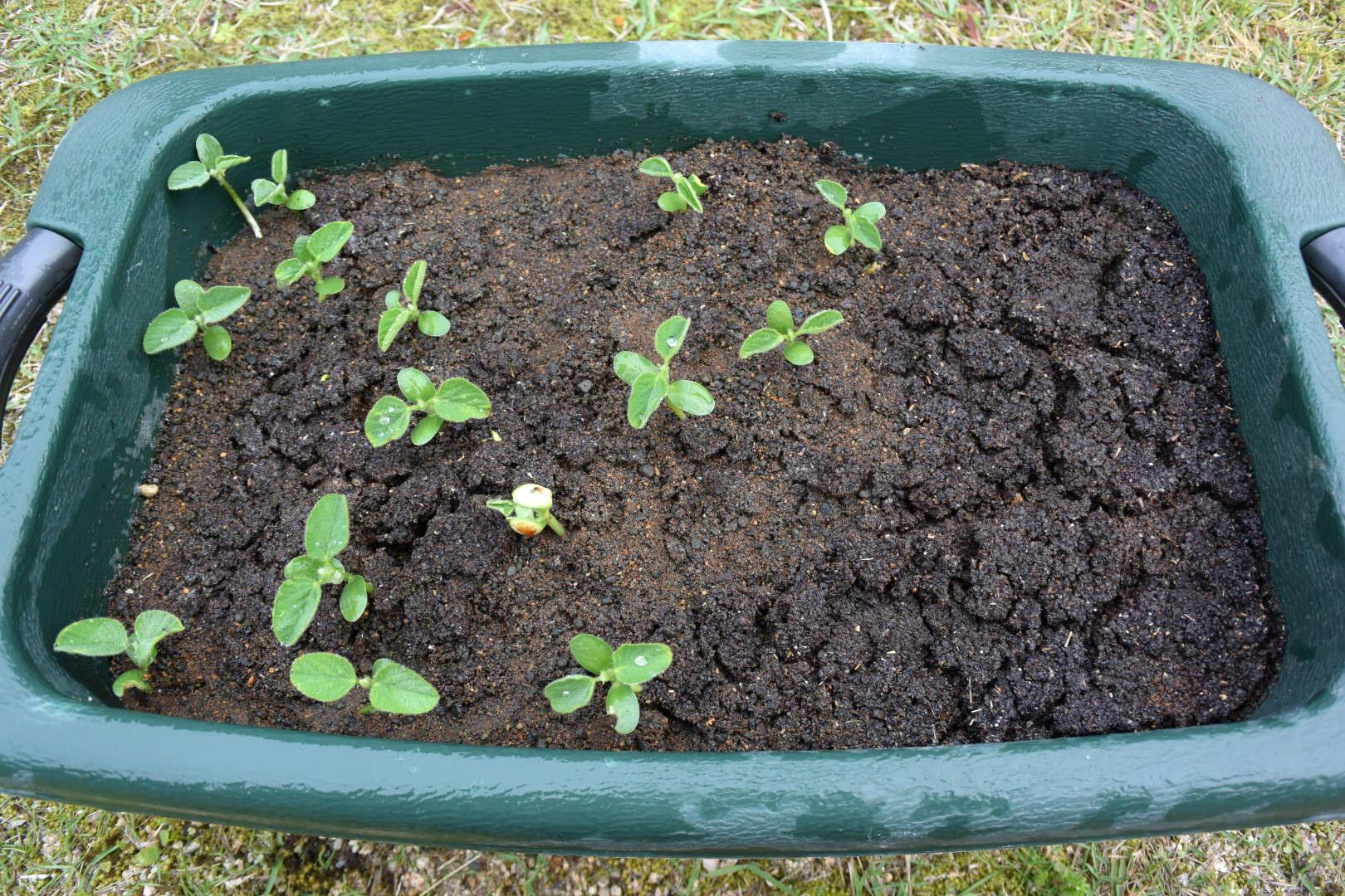 大豆 を 暗闇 で 育てる と